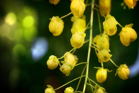 drumstick tree: Cassia Fistula or golden shower tree