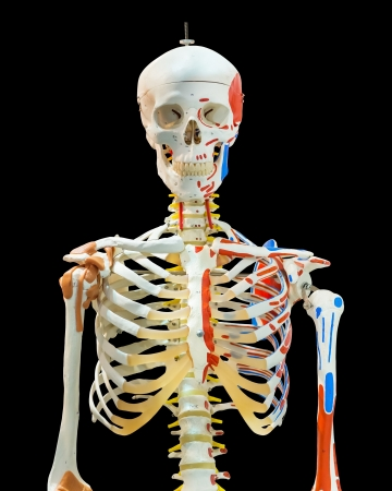 upper half: Isolated upper half of human skeleton