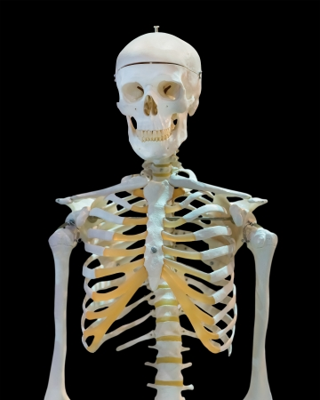 upper half: Isolated upper half of human skeleton on white Stock Photo