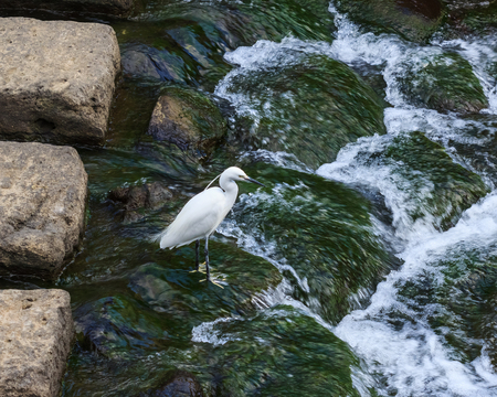 nagasaki: White crane at Nakashima river in Nagasaki