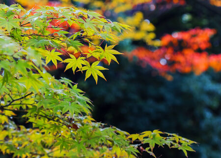 Green maple leaves in autumn at Hiroshima Central Park photo