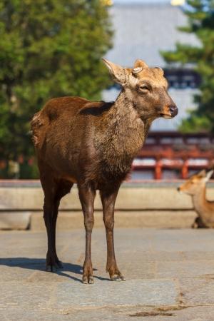 todaiji: Sika Deer at the Great South Gate  Nandaimon  of Todaiji Temple in Nara