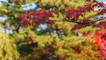 Red maple leaves in autumn at Todaiji Temple in Nara Stock Photo - 24870847