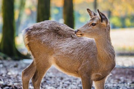 hachimangu: Sika Deer at Tamukeyama Hachimangu Shrine in Nara