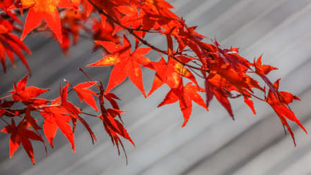 Red maple leaves in autumn in Nara Park Stock Photo - 24924537