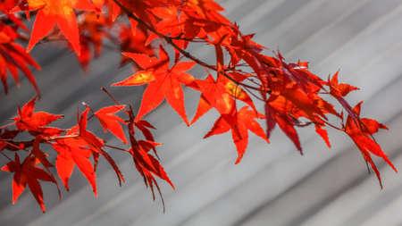 hachimangu: Red maple leaves in autumn in Nara Park