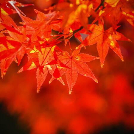Red maple leaves in autumn in Nara Park Stock Photo - 24924544