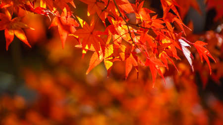 Red maple leaves in autumn in Nara Park Stock Photo - 24970574