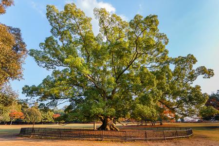 nara park: Old big tree at Nara Park in Nara