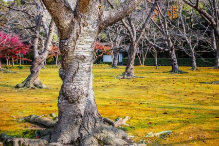 okayama: Japanese apricot at Koraku-en garden in Okayama