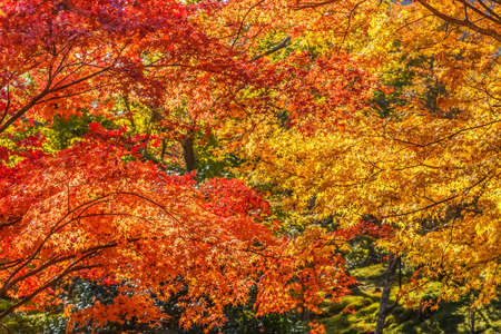 Red maple leaves in autumn at Tenryu-ji Temple in Kyoto Stock Photo - 25970196