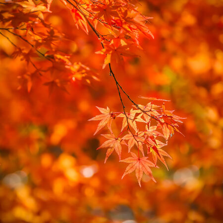 Red maple leaves in autumn at Tenryu-ji Temple in Kyoto Stock Photo - 25970232