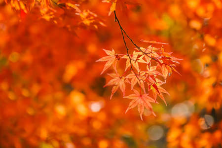 Red maple leaves in autumn at Tenryu-ji Temple in Kyoto Stock Photo - 25993081