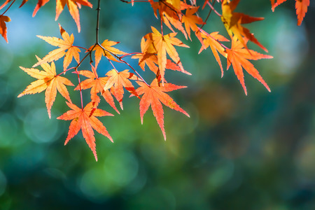 momiji: Red maple leaves in autumn at Tenryu-ji Temple in Kyoto