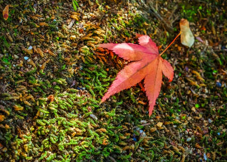 Red maple leaf on the ground photo