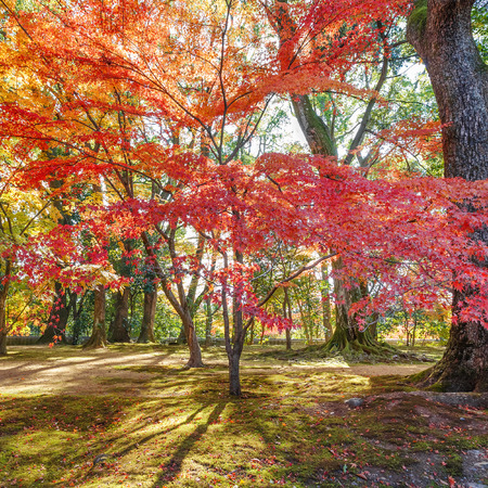 Red Maple leaves in a garden in autumn Stock Photo - 26808073