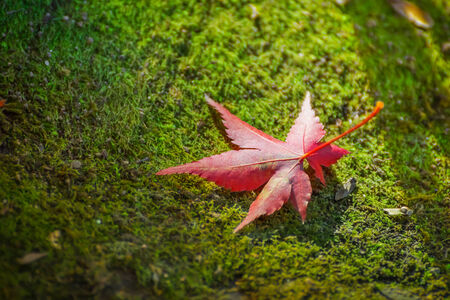 Red maple leaf on the ground Stock Photo - 27272845