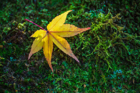 Yellow Maple Leaf in Autumn photo