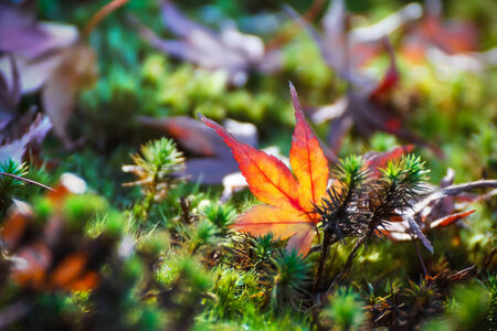 Red maple leaf on the ground Stock Photo - 27475011
