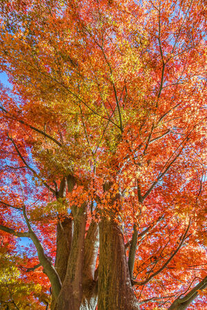 Red Maple leaves in a garden in autumn Stock Photo - 27578697