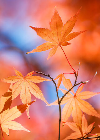 Red Maple leaves in autumn Stock Photo - 27676527