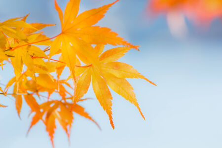 Yellow maple leaves in Autumn Stock Photo - 27713290