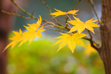 koyo: Colorful Maple Leaves in Autumn