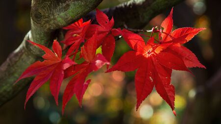 Colorful Red Maple Leaves in AUtumn