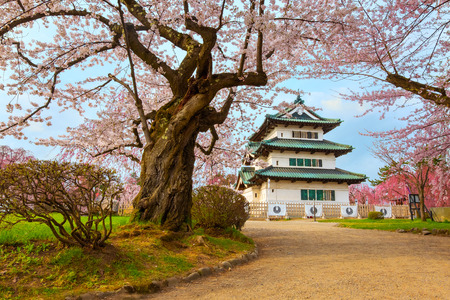 Sakura - Cherry Blossom full bloom at Hirosaki castle in Hirosaki park, Japan