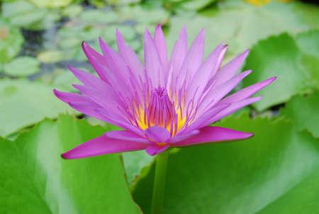 priesthood: Lotus in Thailand