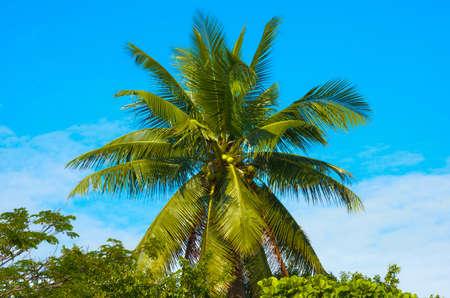 ladigue: Coconut in thailand Stock Photo