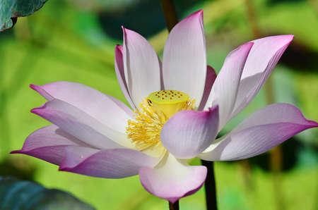 egyptian lily: lotus flower