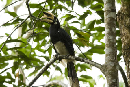 oriental pie hornbill