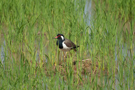 lapwing: red-wattled lapwing