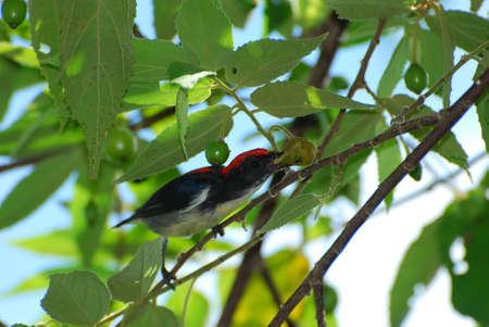 scarlet-backed flowerpecker