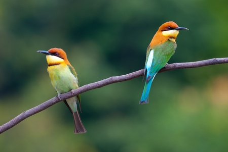 birder: chestnut-headed bee-eater