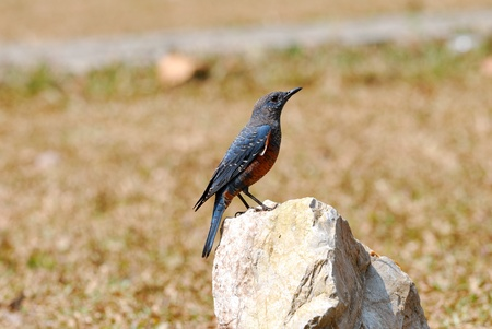 blue rock thrush Stock Photo