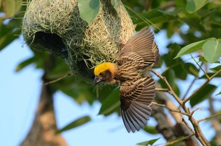 beaitiful male baya weaver protecting his nest photo