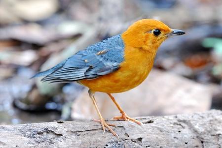 thrush: male orange headed thrush Stock Photo