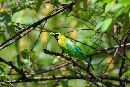 beautiful male blue-winged leafbird photo