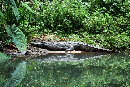 beautiful siamese crocodile sun bathing Stock Photo - 9771831