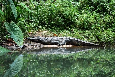 sun bathing: beautiful siamese crocodile sun bathing Stock Photo