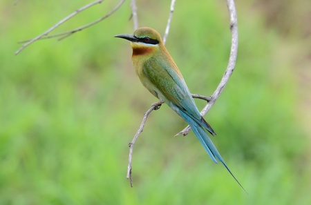 beautiful blue tailed bee eater photo