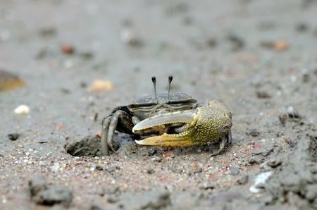 beautiful male sward crab protecting his hole Stock Photo