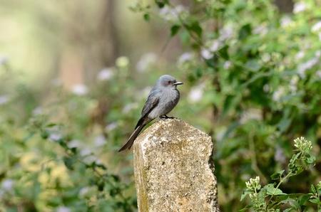 ashy: beautiful ashy drongo(Dicrurus leucophaeus)