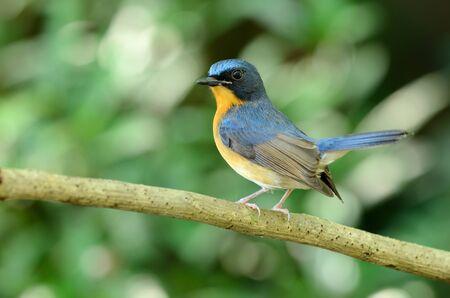 beautiful male hill blue flycatcher (Cyornis banyumas)