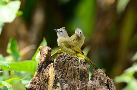 flavescens: beautiful flavescent bulbul (Pycnonotus flavescens) Stock Photo