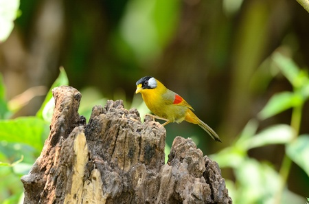 birder: beautiful female silver-eared mesia(Leiothrix argentauris)