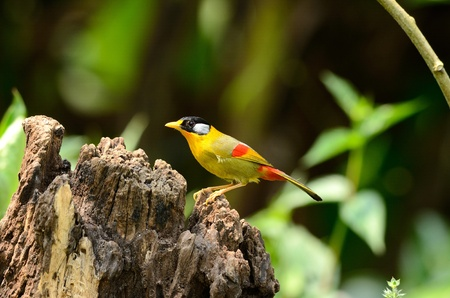 beautiful male silver-eared mesia(Leiothrix argentauris) Stock Photo - 12654669