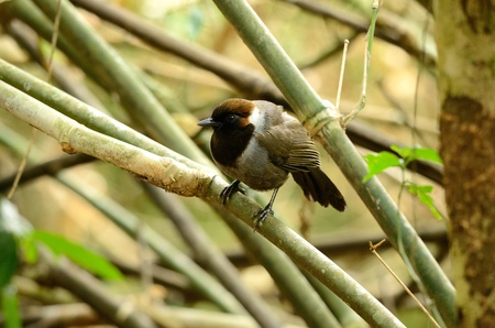 white necked: bella e bianca a collo laughingthrush Garrulax strepitans